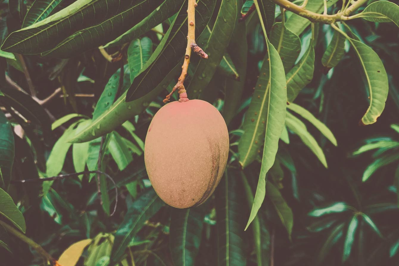 Mango and Weed: Can the Stone Fruit Boost the Effects of Weed?